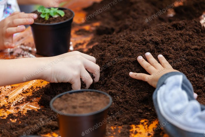 View of  hands toddler planting young beet seedling in to a fert