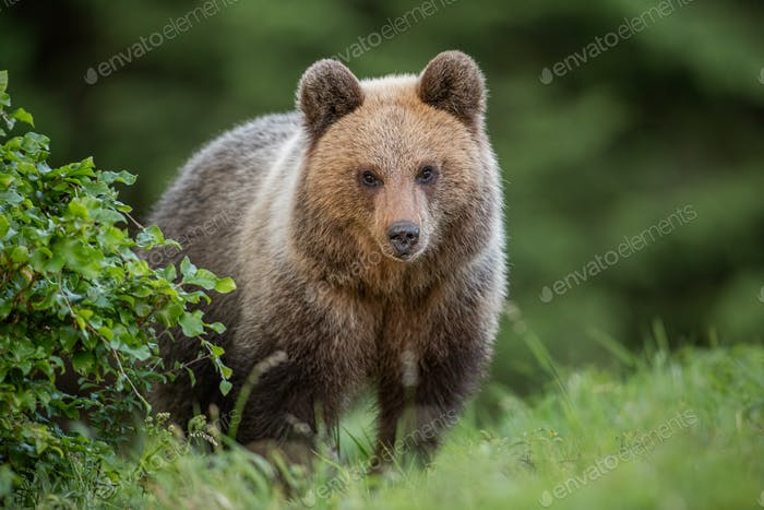 Fluffy young brown bear, ursus arctos, in summer