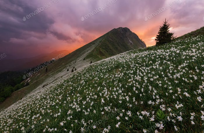 Sea of narcissus (daffodil) flowers on the slopes of Golica hill in Slovenia.