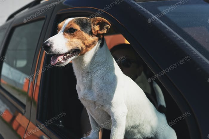 Dog while looking through car's window
