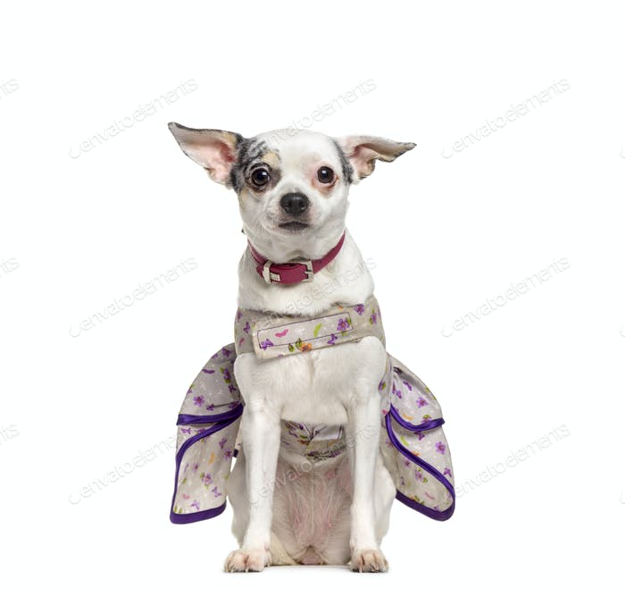 Chihuahua dog with clothes sitting, cut out