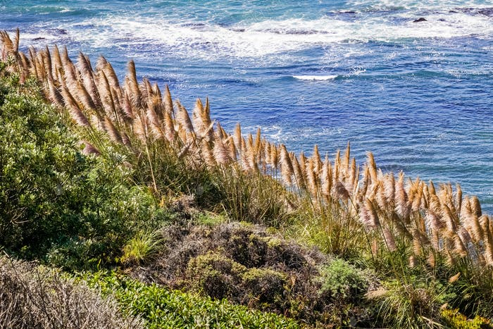 Pampas Grass on the Pacific coastline, California