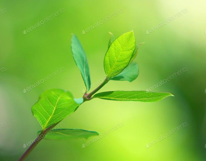 Spring green leaf.