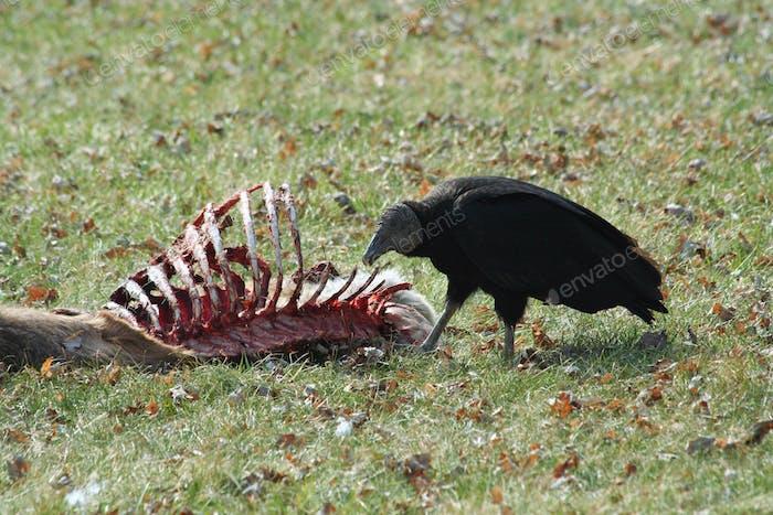 Black Vulture eating a deer carcass