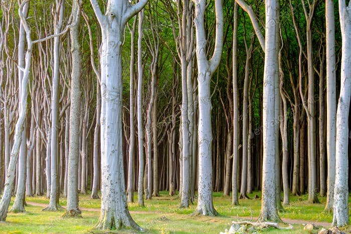 Haunted beech tree forest