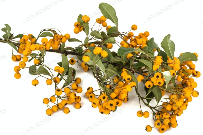 Yellow berries of shrubby pyracanthus, lat. Pyracantha, isolated