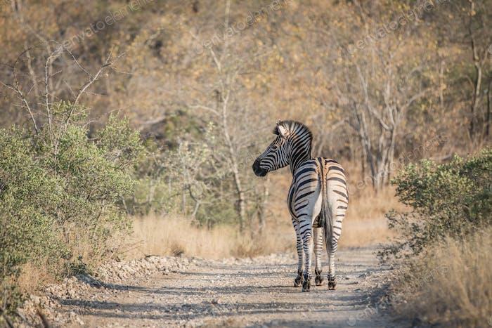 Zebra standing in the road in Kruger.