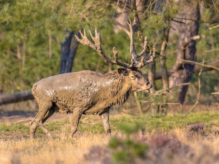Red deer rutting season Veluwe