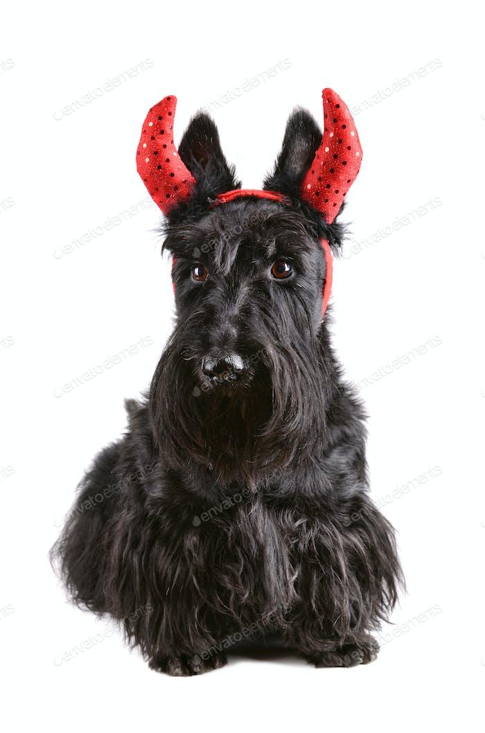Schwarzer Scotch Terrier
