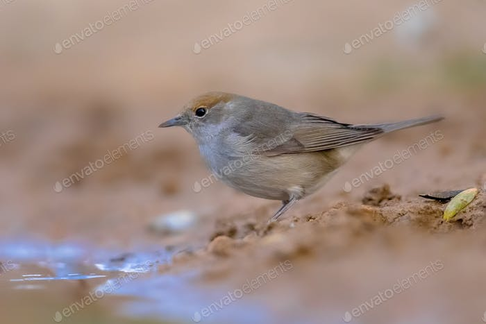 Female Eurasian blackcap