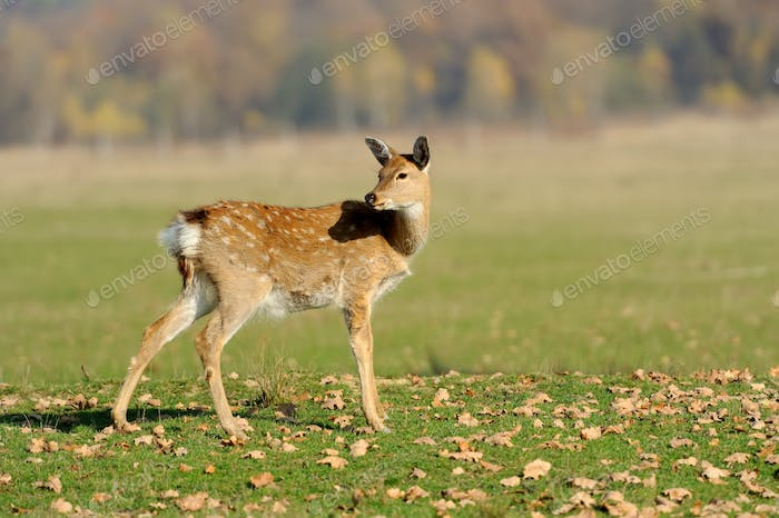 Whitetail Deer standing in autumn day