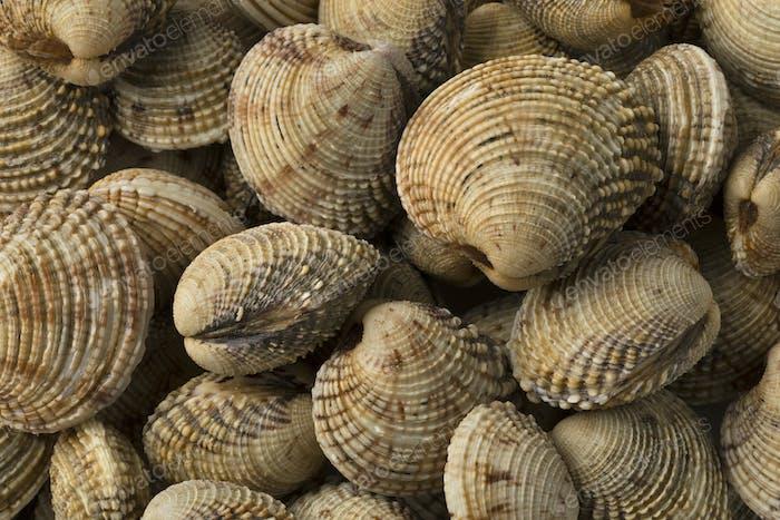 Fresh raw warty venus clams