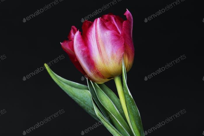 Closeup of pink tulip