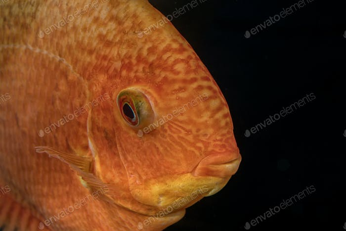 Portrait of cichlid fish (Heros sp.)