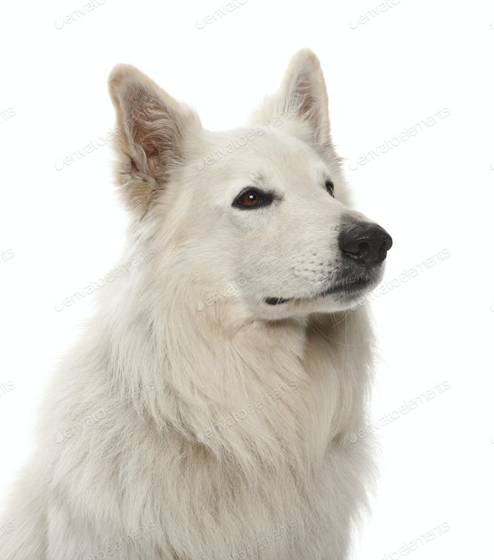 Berger Blanc Suisse, 5 years old, against white background