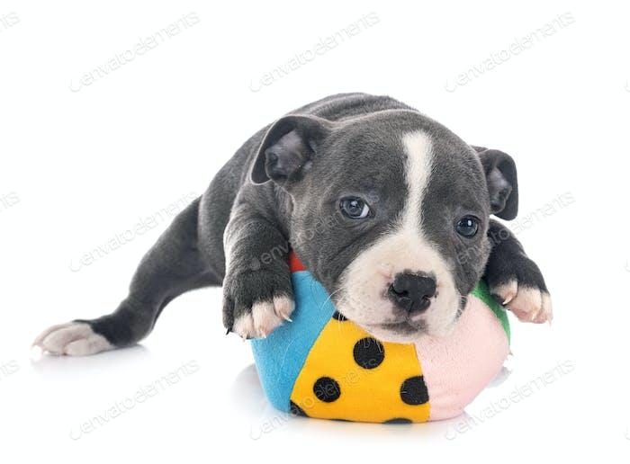 puppy staffordshire bull terrier