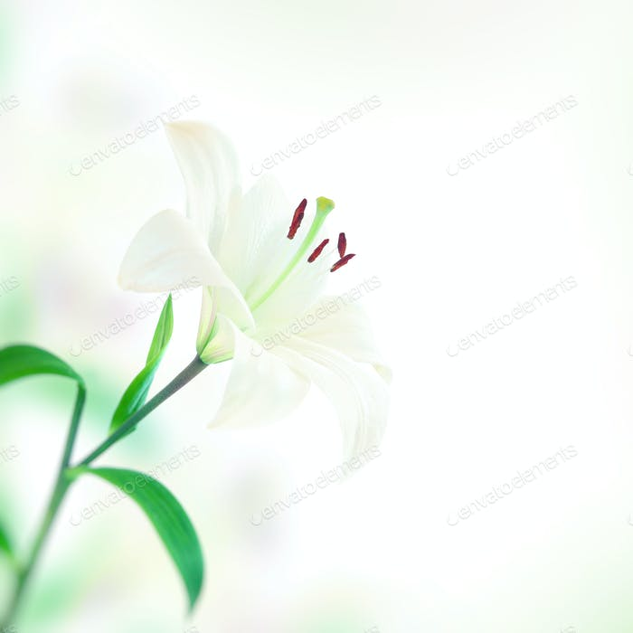 Beautiful lily flower