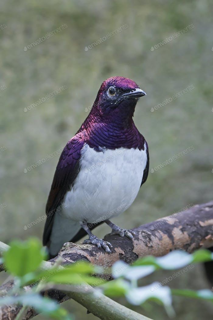 Violet-backed starling (Cinnyricinclus leucogaster)
