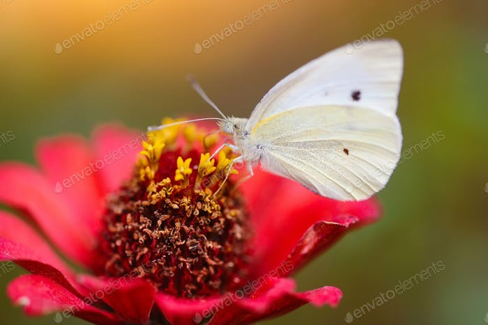 Pieris brassicae butterfly on a red flower zinnias