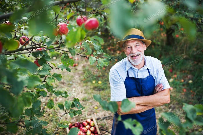 A senior man standing in apple orchard in autumn, arms crossed.