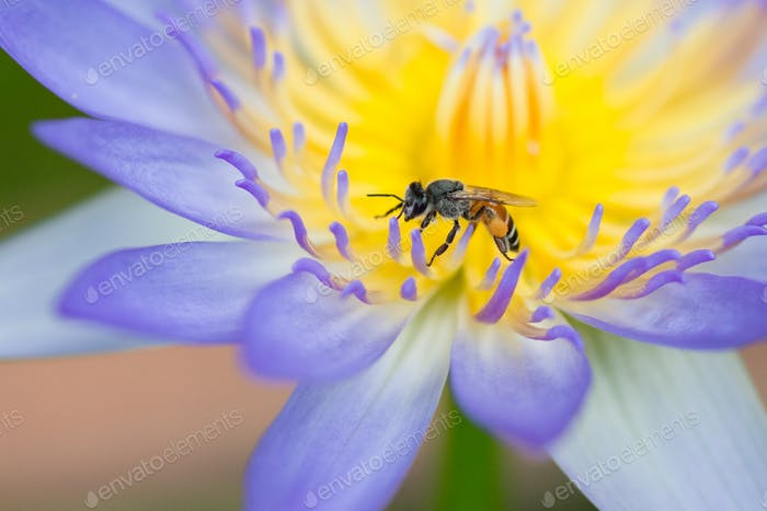 Bee on top of purple lotus flower