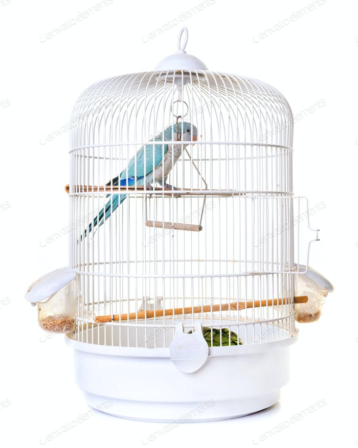 Monk parakeet in bird cage