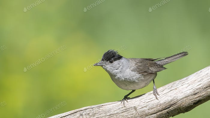 Eurasian Blackcap sitting on a stick and singing.