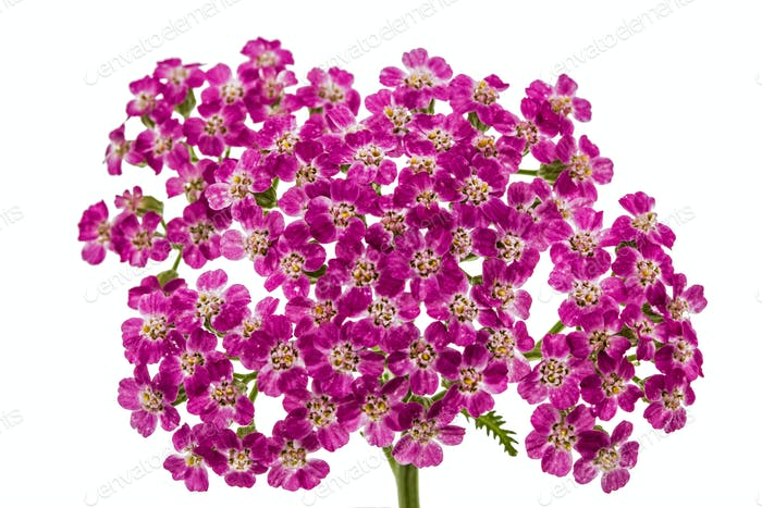 Flowers of yarrow, lat. Achillea millefolium, isolated on white