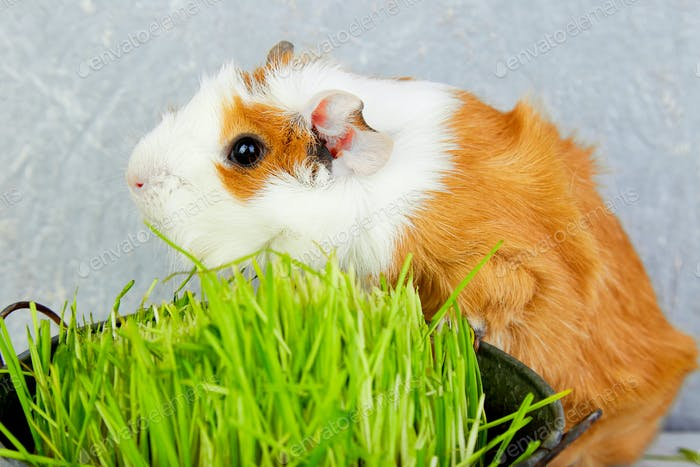 Redhead  guinea pig near vase with fresh grass.