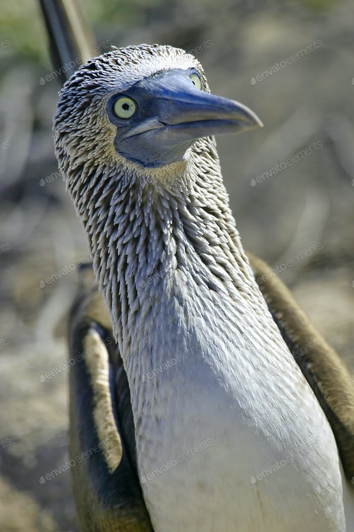Blue-footed Booby, Galapagos National Park, Ecuador