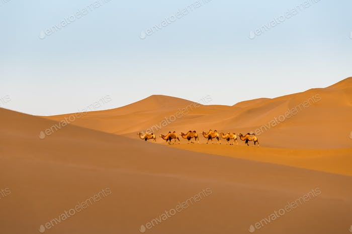 desert landscape and camel team