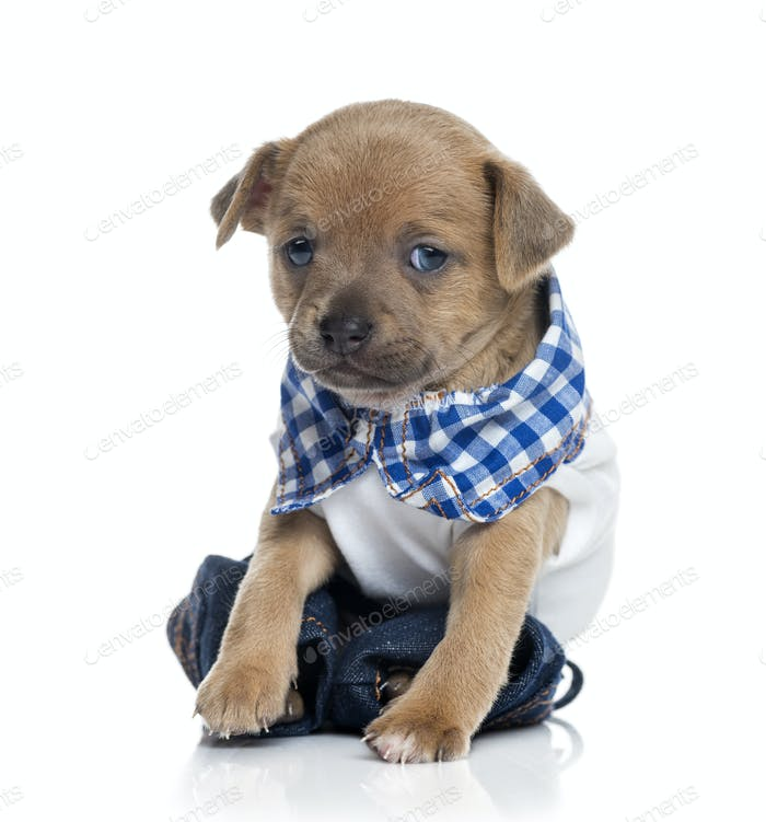 dressed Chihuahua puppy (1 month old)