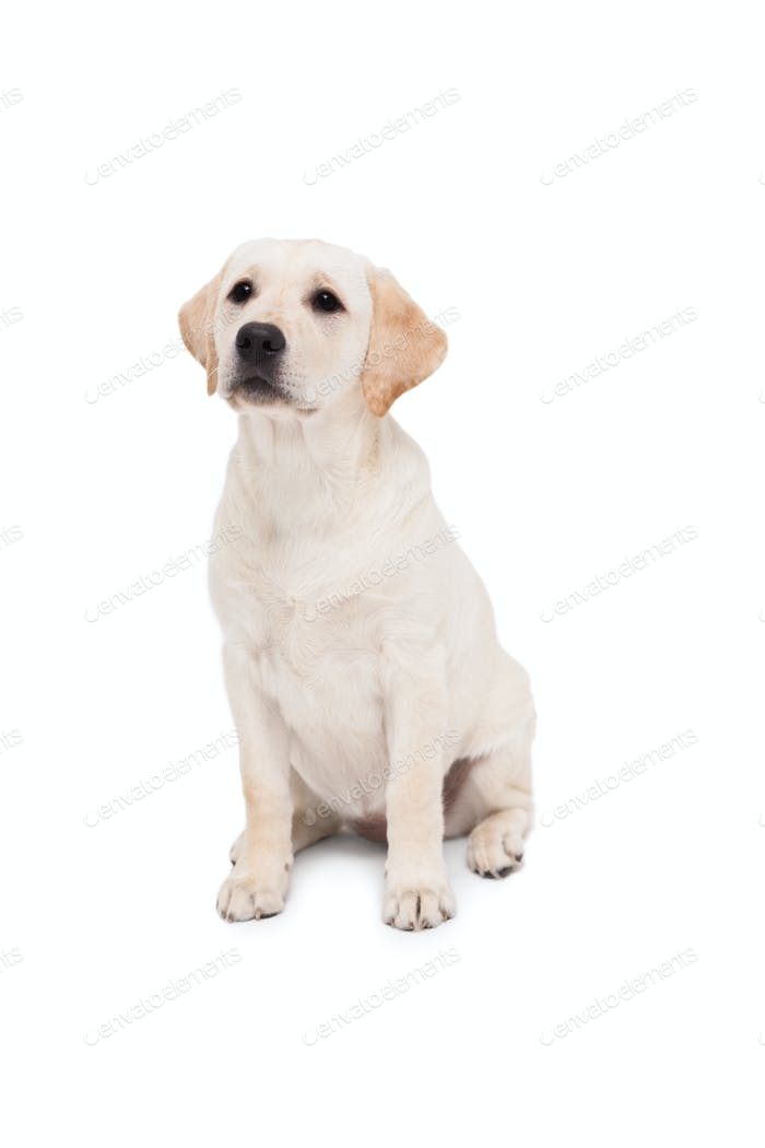 Cute dog standing alone and looking up on white background