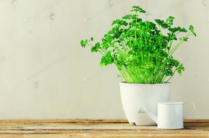 Fresh parsley herb growing in pot on wooden background. Organic herbs with sunny leaks. Copy space