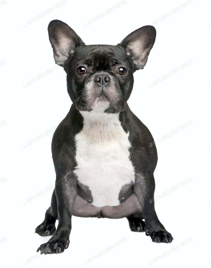 French Bulldog (3 years)