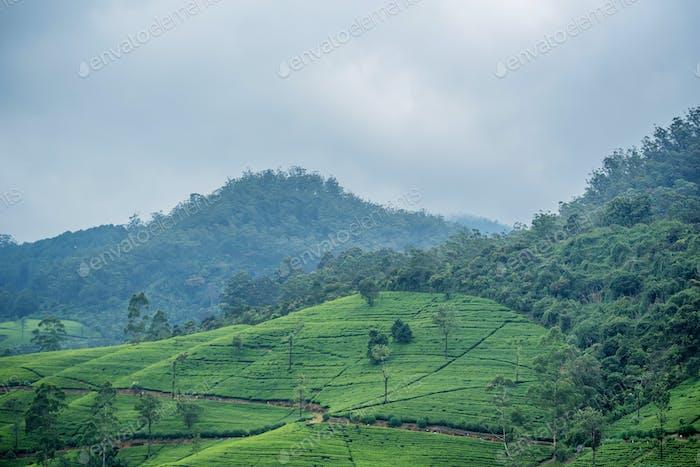 Teeplantage Landschaft in Sri Lanka