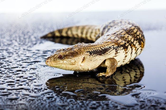Australian blue tongued lizard in wet dark shiny studio environe