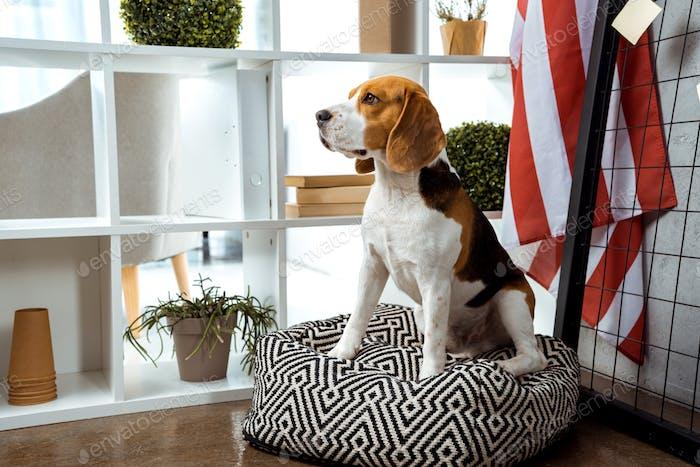 Beagle Sitting on Bean Bag Near American Flag in Modern Office