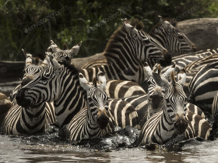 Zebras walking in a river, Serengeti, Tanzania, Africa