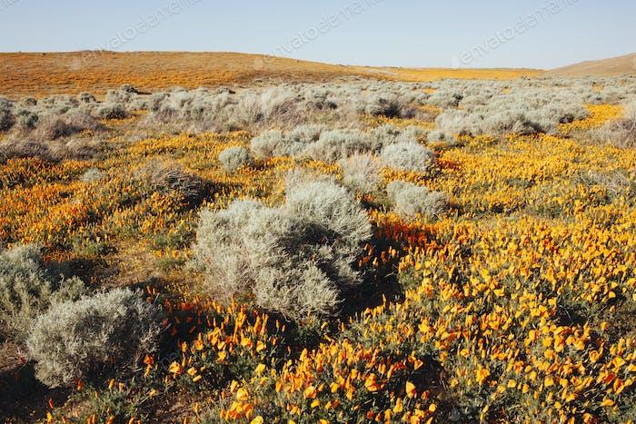 Eine eingebürgerte Ernte der leuchtenden Orangenblüten, der kalifornischen Mohnblume, Eschscholzia californica