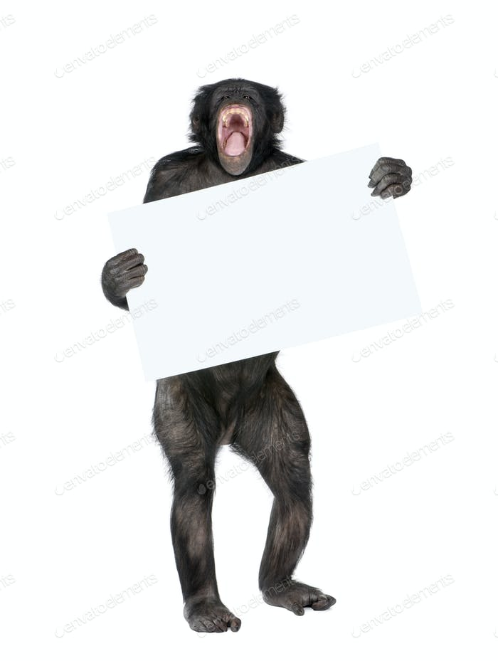 Mixed breed between Chimpanzee and Bonobo holding blank posterboard, 20 years old, studio shot