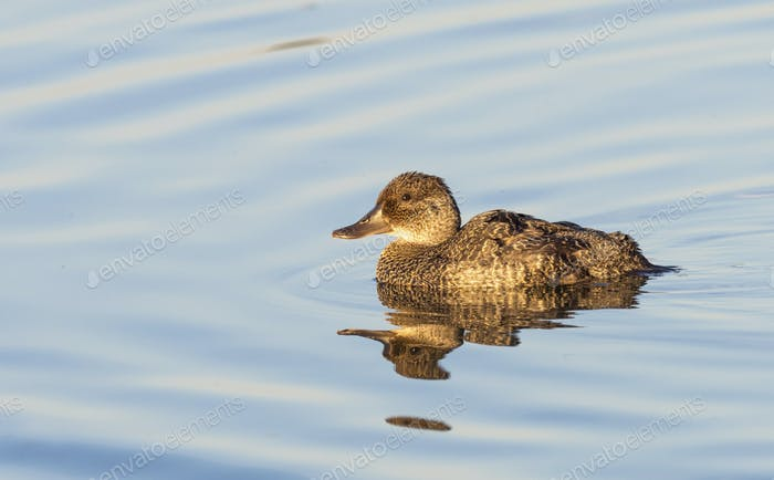 Thumbnail for Female Blue-Billed Duck