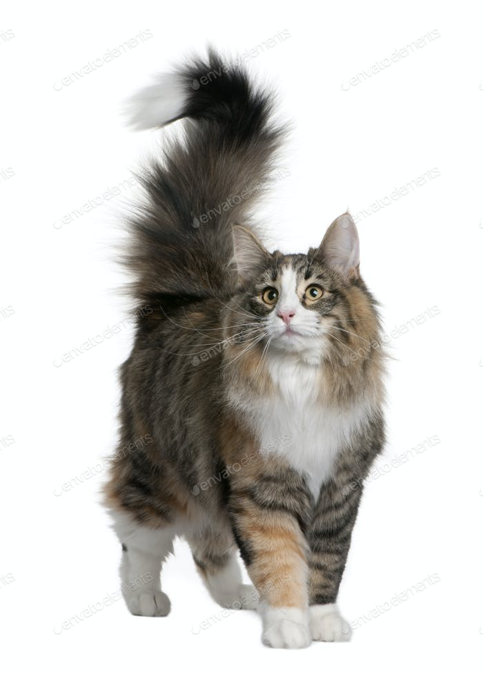 Norwegian Forest Cat (8 months old)