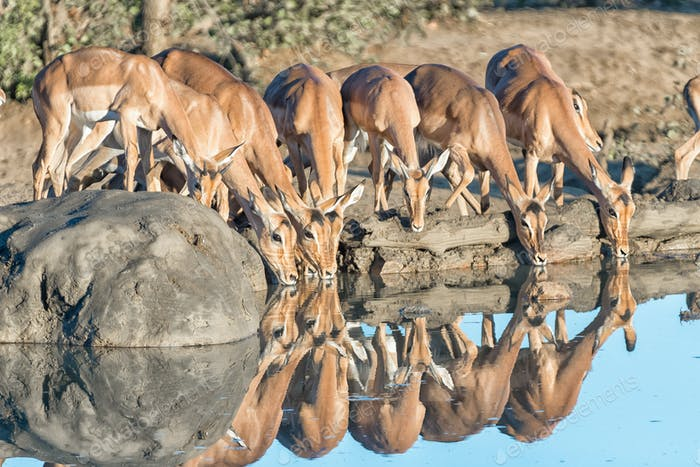 Impala ewes and young rams drinking water
