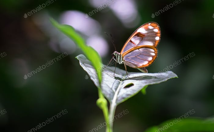 White-spotted Glasswing Butterfly in Costa Rica