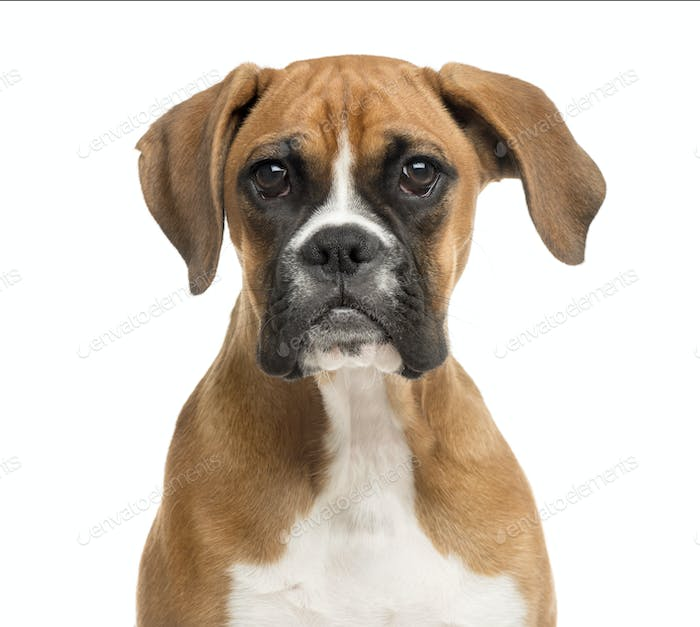 Close-up of a Boxer in front of a white background