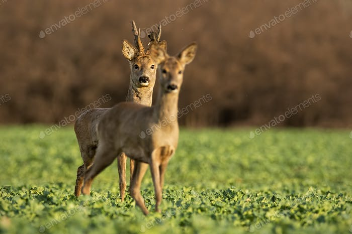 Roe deer, capreolus capreolus, couple at sunset in spring