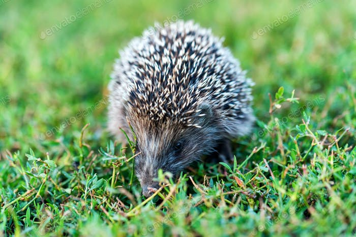 Lovely hedgehog or Erinaceus roumanicus on grass