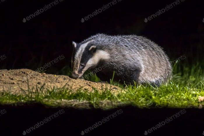 European badger foraging at sett