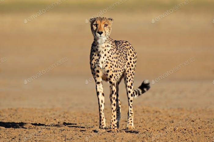 Alert cheetah - Kalahari desert